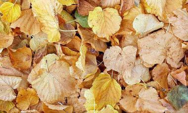Какие деревья сбрасывают листву